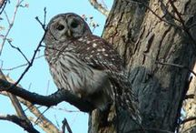 Wise Old Owls / My photographs of owls - Eastern Iowa / by Kelly Lamb