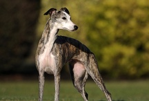Sighthounds / Those hounds who share our lives and also have excellent vision.