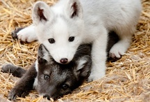 Wolves - Please Help Save the Wolves! ♥♥♥
