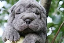 Sharpei / The cutest, wrinkliest dog breed! / by Suzanne Faris