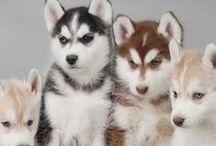 Huskies / by Craig Norton