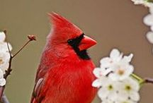 The Red Cardinal / by Craig Norton