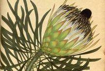 Illustration / Botanical