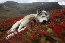 geo - k9 / Canine - [ˈkeɪnaɪn ˈkæn-] of or resembling a dog