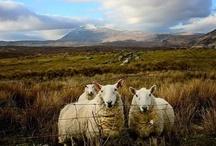 Baaa-Ram-Ewe / Animals of all sorts, especially the wooly ones.