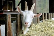 Backyard Goats  / Goats, alpacas and sheep... / by D.j. McLendon