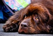 Newfies / The Newfoundland is a working dog. Newfoundlands can be black, brown, white and black (Landseer), or gray. They were originally bred and used as a working dog for fishermen in the Dominion of Newfoundland (which is now part of Canada). They are known for their giant size, intelligence, tremendous strength, calm dispositions, and loyalty. Newfoundland dogs excel at water rescue/lifesaving because of their muscular build, thick double coat, webbed feet, and innate swimming abilities. / by Amber Kirby