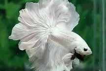 BETTA / by Denise Revely
