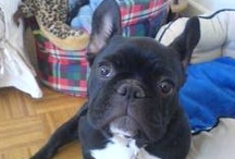 French Bull / All about the French Bulldog / by Lou VF
