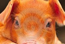 Pigs / by Deedee Lumb