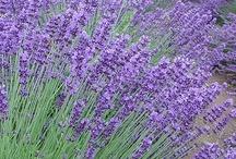 ~ Lavender ~ / by Tamika Robis Gordon