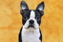 Boston Terrier <3 / by Debbi Erlick