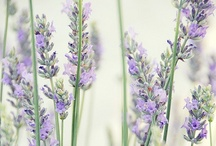 Lavender / by Teri Hildebrandt Gehin
