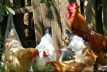 Backyard Chickens / Tips and tricks for happy, healthy chickens no matter how big your backyard.