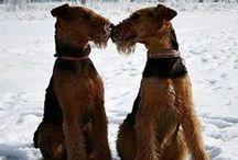 Bull, Welsh, Fox & Airedaleterrier / hond