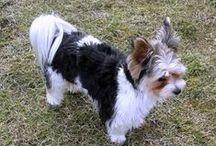 York Shire Terrier Biewer