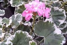 BLOOMS: GERANIUMS PLANTS IN THE GENUS PELARGONIUM / by SAGELAINE *