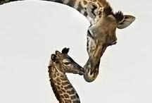 Giraffadi  / Tall necked creature