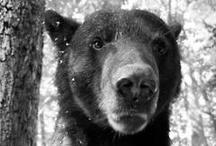 Ursi  / Bears and Koalas