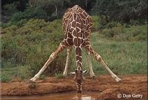 Giraffes ❤
