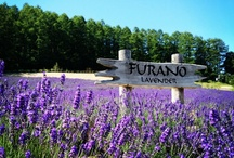 summer in Furano / Summer in Furano is filled with flowers and outdoor activities in the great beautiful nature!