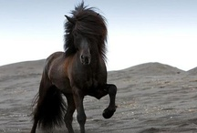 Icelandic Horses - the best horses ever! / by Jette Knudsen