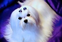 Maltese & Other Doggy Stuff / Maltese and other doggy stuff
