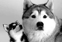 Amazing Huskies
