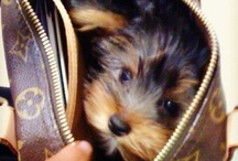 Yorkie Obsession / Yorkies absolutely melt my heart! We were blessed to have little Miss Ella a part of our family 06/05/07 ~ 08/01/13. She had our hearts from day one. We love her & miss her every minute of every day! Ella's lil legacy will live on forever. Mya DOB: 11/20/13 misses her big sista!!   / by Tara Mershon