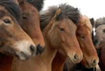 Faszinierende Islandpferde / Der Traum vieler Mädchen - eine Reittour auf dem Islandpferd! Die einzige Pferderasse, die 5 Gangarten beherrscht: den besonderen isländischen Tölt & Pass sowie Trab, Galopp und Schritt!