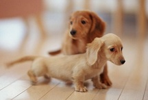 Doxie Love / by Gail Vogeler