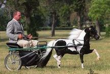 American miniatyre horses