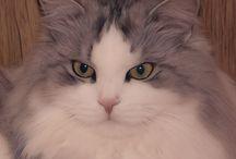 Karhunhovi / Siberian Cat, Siperiankissa