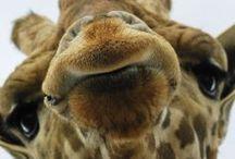 Giraf Obsession.