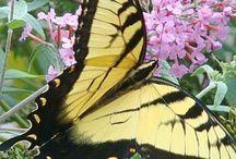 Butterflies in my backyard