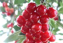 Cherries!! / Everything Cherry.