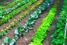 Home Grown Goodness / Tips for organic gardening, vegetable gardens, raised beds, home grown food, sustainable living, and eco-friendly gardening ideas.