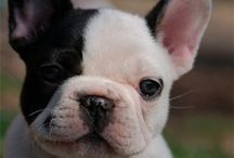 Frenchie love / French Bulldog / by Catherine / Snow Daisy Studio