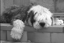 Les bouilles de chiens que j'aime / En mémoire d'Apollon,  notre bobtail, parti en 2006....RIP / by Ysabel Pages