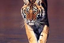 Tigres, panthères, les plus belles images II / by Ysabel Pages