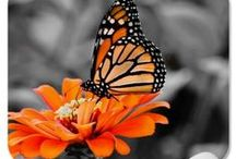 Madam Monarch Butterfly / by Butterflies Are Blooming