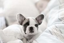 french bulldog / by Eric Hibelot