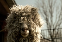 Sheep  / I <3 sheep! / by Kate Cloud