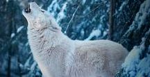 Wolves / Beautiful pictures of wolves and wolf cubs.