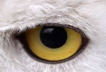 the snowy owl totem... / ...i grew up with these majestic winged ones... they taught me a lot...