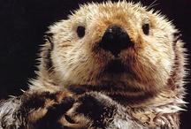 I love Sea Otters!