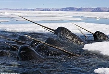 Cetecea / The order Cetacea includes the marine mammals commonly known as whales, dolphins, and porpoises. / by Gairid