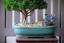 """Bonsai / """"Bonsai"""" is a Japanese pronunciation of the earlier Chinese term penzai. A """"bon"""" is a tray-like pot typically used in bonsai culture.[2] The word bonsai is often used in English as an umbrella term for all miniature trees in containers or pots. This article focuses on bonsai as defined in the Japanese tradition. / by Judith Fisher"""