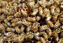 Οι μέλισσες (Bees) / Οι μέλισσες της Ηπείρου ανήκουν στην οικογένεια Apis mellifera macedonica. Θεωρούνται από τις πιο ήρεμες μέλισσες, με καλό προσανατολισμό και μεγάλη ακτίνα δράσης. Παρουσιάζουν όμως και έντονες τάσεις σμηνουργίας ενώ αναπτύσσονται αργά την άνοιξη.