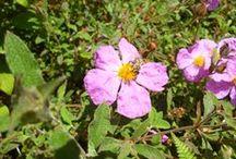 Άνθη της Ηπείρου (Nectar and Pollen Plants) / Από τον κόλπο του Αμβρακικού μέχρι τις ανθισμένες πλαγιές της Πίνδου, συλλέγουμε μέλι από μια πανδαισία αγριολούλουδων και αγριοβοτάνων του δάσους που φύονται στην περιοχή.